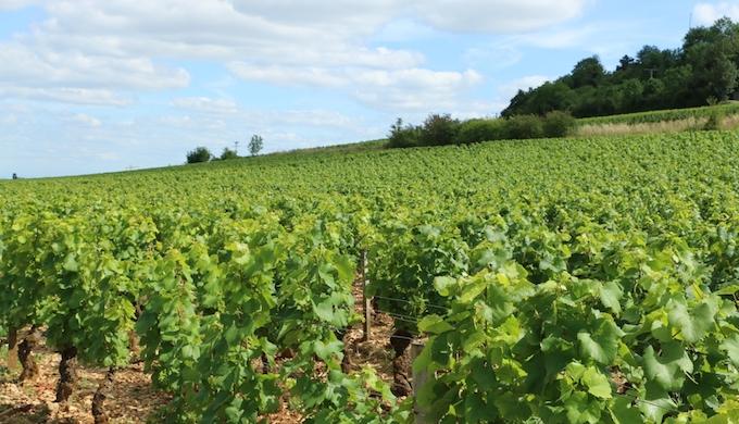 スペインのブドウ畑の写真