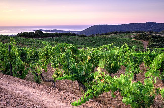コルシカ島のワイン畑