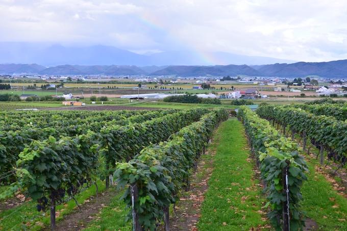 日本の葡萄畑の写真