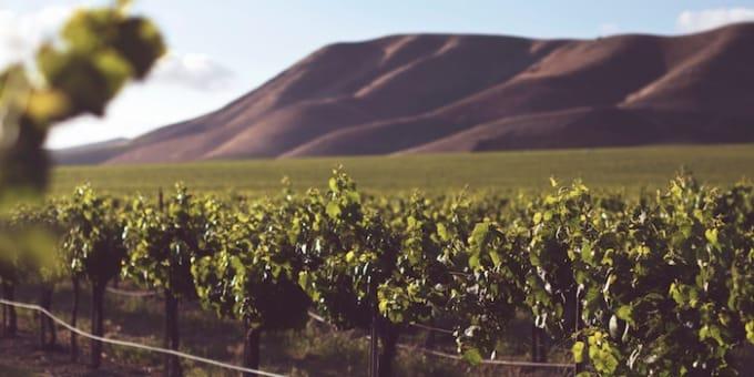 ワインのブドウを育てている産地の写真